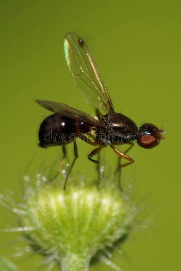 Macro of Caucasian winged black fly ant on a fluffy green bud royalty free stock photos