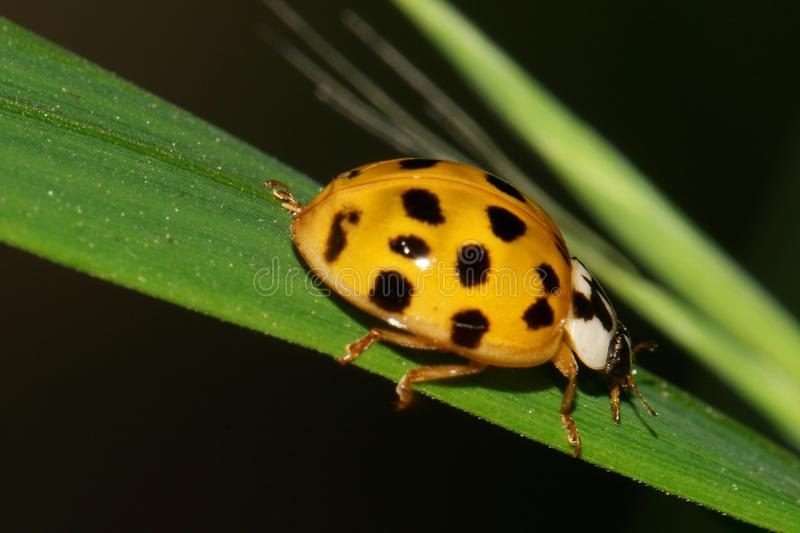 Macro of the Caucasian yellow ladybird hanging on a leaf spikelet stock images