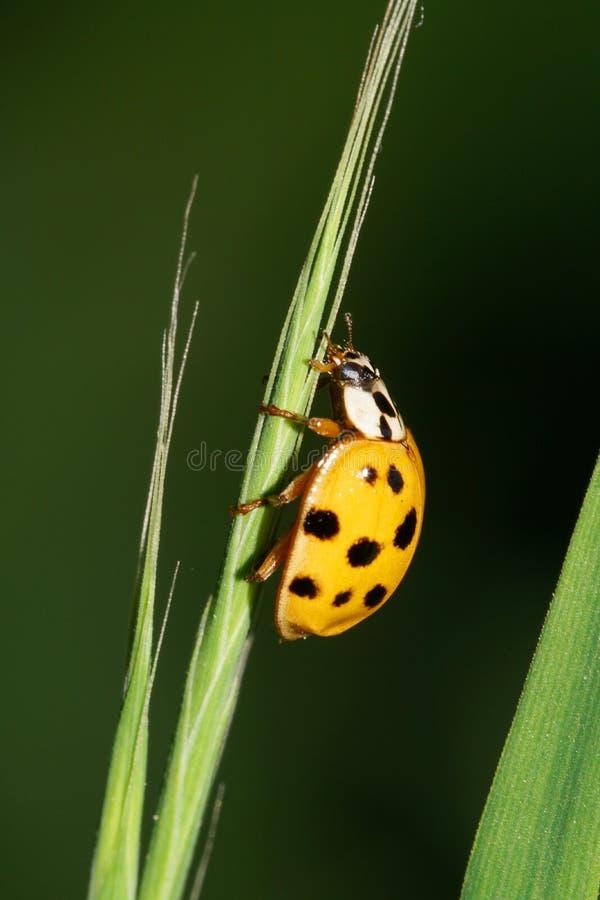 Macro of Caucasian yellow ladybird hanging on narrow green leaf stock photos