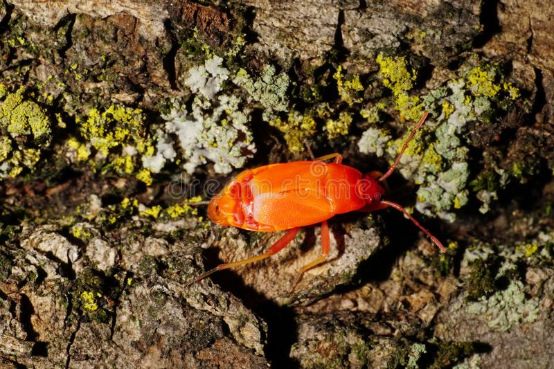 Macro of Caucasian young red bug of soldier Pyrrhocoris on lichen and bark royalty free stock image
