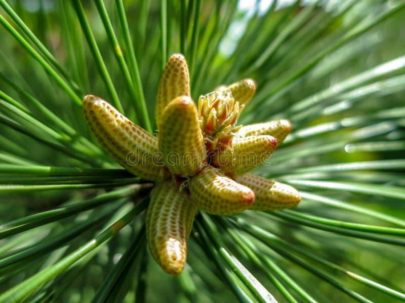 Macro centre mou des microstrobiles masculins de cônes de pollen-incidence jaune de groupe à l'astuce du pityusa b de brutia de p images stock