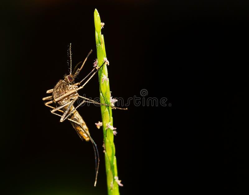 Macro centre sélectif de moustique sur la feuille sur le fond foncé brouillé images stock