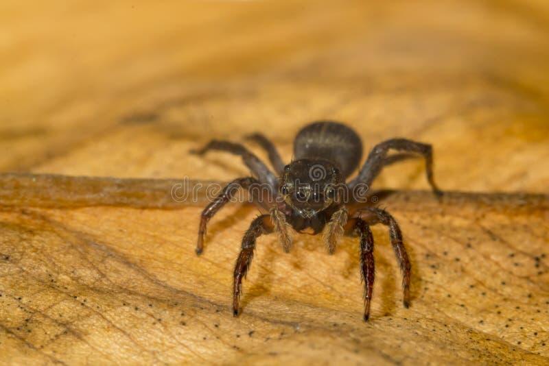 Macro cercana para arriba de arañas tropicales del arácnido en el arachnophobia salvaje fotografía de archivo