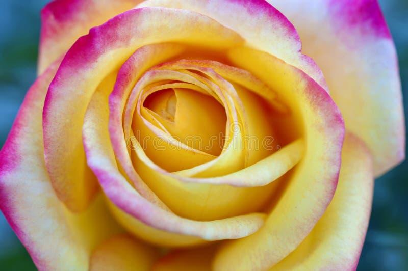 Macro cercana para arriba de rosa del amarillo con extremidades abigarradas rosadas brillantes en los pétalos de la flor imagenes de archivo
