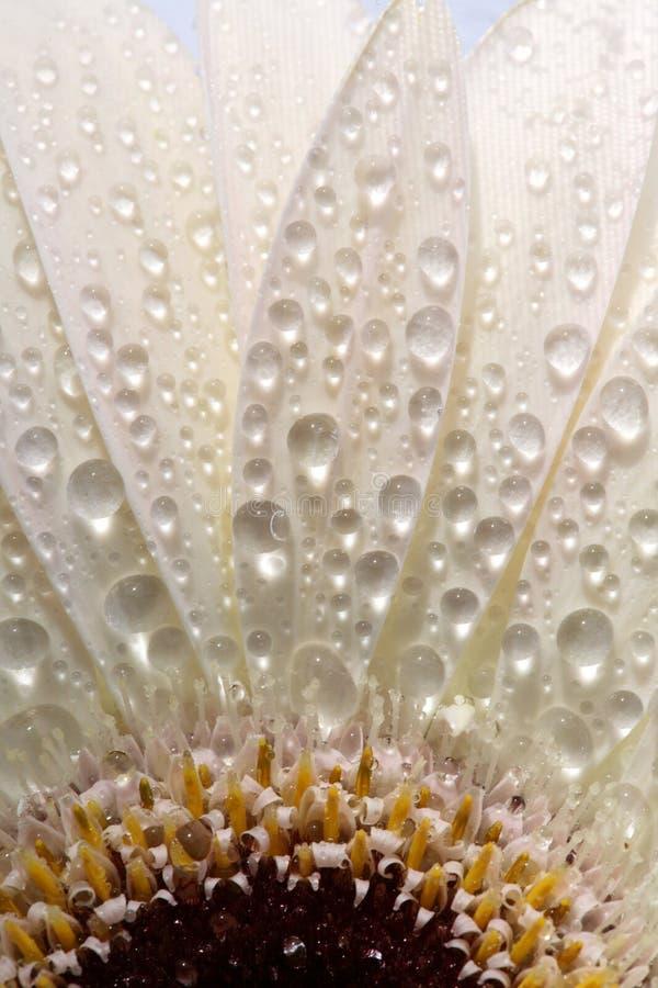 Macro cercana para arriba de una flor de la margarita fotografía de archivo