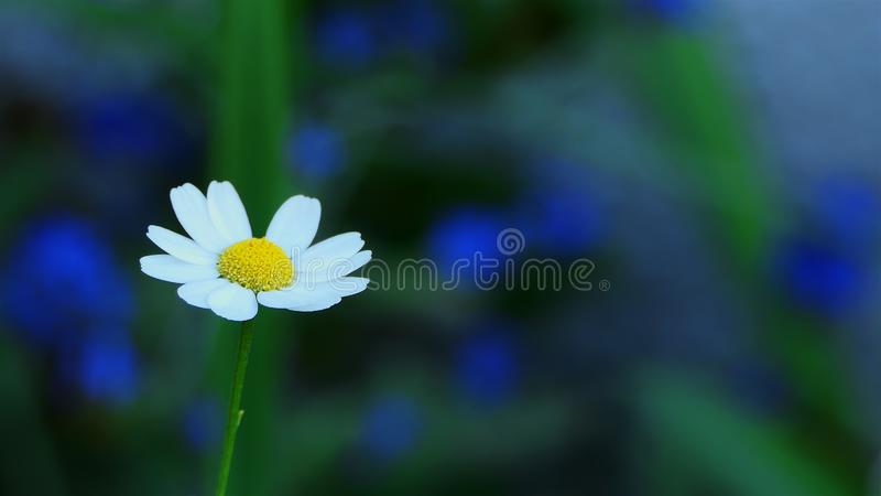 Macro Chamomile flower close up. White daisy flowers. Nature background with copyspace. wild flower meadow, botany and biology. ec royalty free stock image