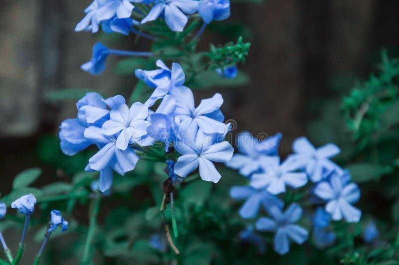 Macro, cierre para arriba Flores del auriculata azul del grafito del grafito fotografía de archivo libre de regalías