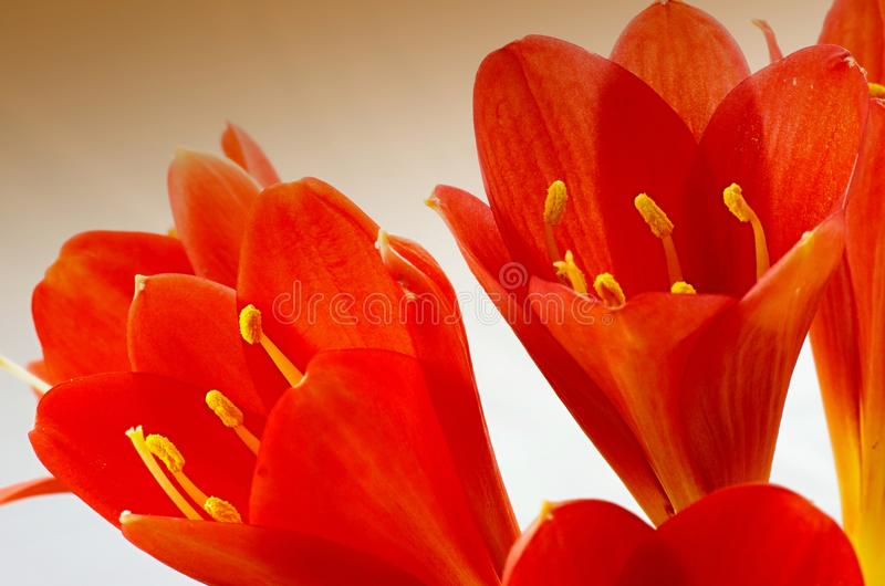 Macro of Clivia flower stock photography