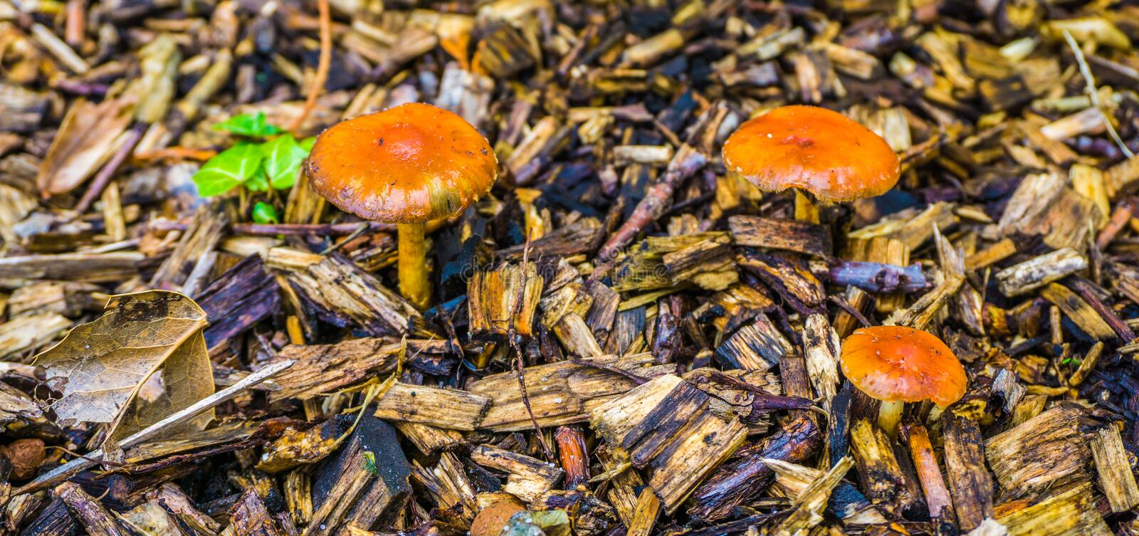 Macro close up in autumn season of some small orange brown round mushrooms. In wood chips stock photo