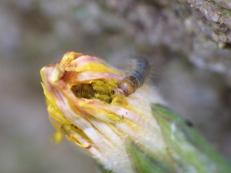 Macro close up caterpillar eating a dandelion plant photo taken in the UK. Macro close up of a caterpillar eating a dandelion plant photo taken in the UK stock images