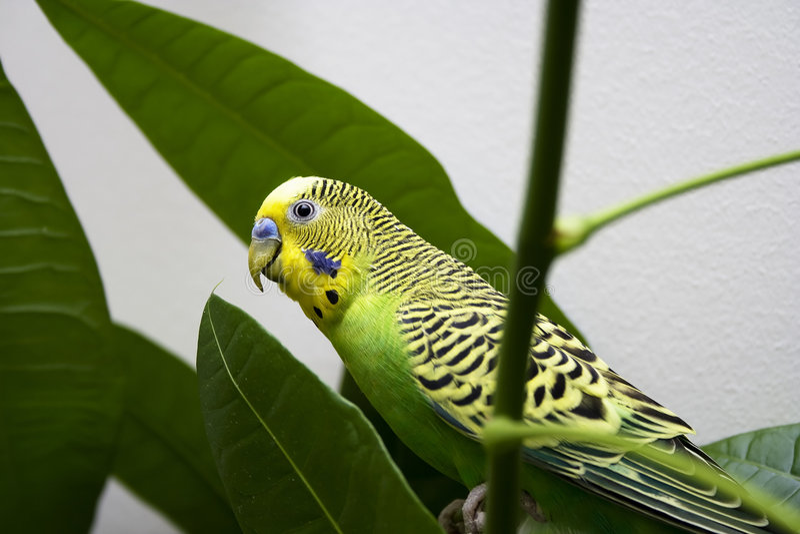 Macro close-up of classic green parakeet royalty free stock images