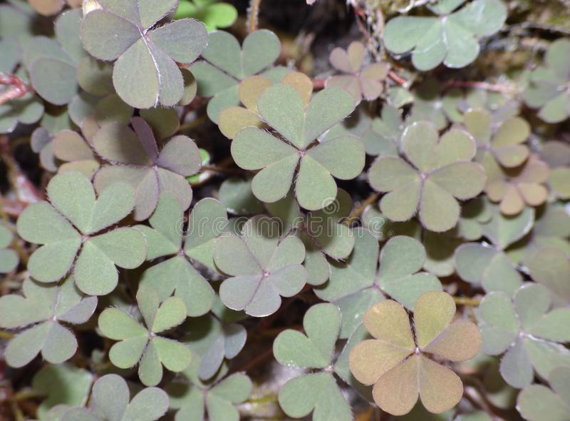 Macro close up of Creeping woodsorrel flower / plant in garden, photo taken in the UK stock photos