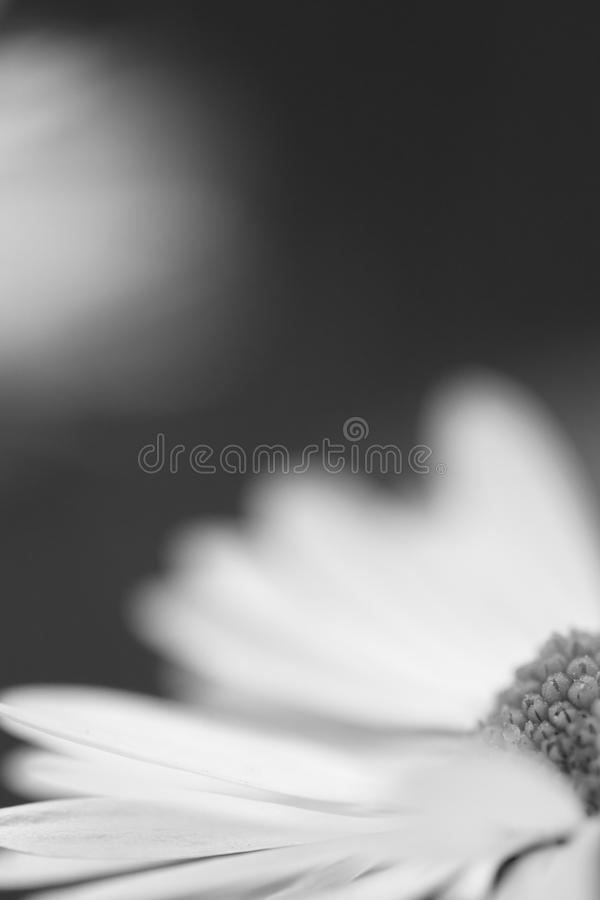 Macro close up of daisy head flower in blurred background isolated in black and white, creative floral springtime motif stock image