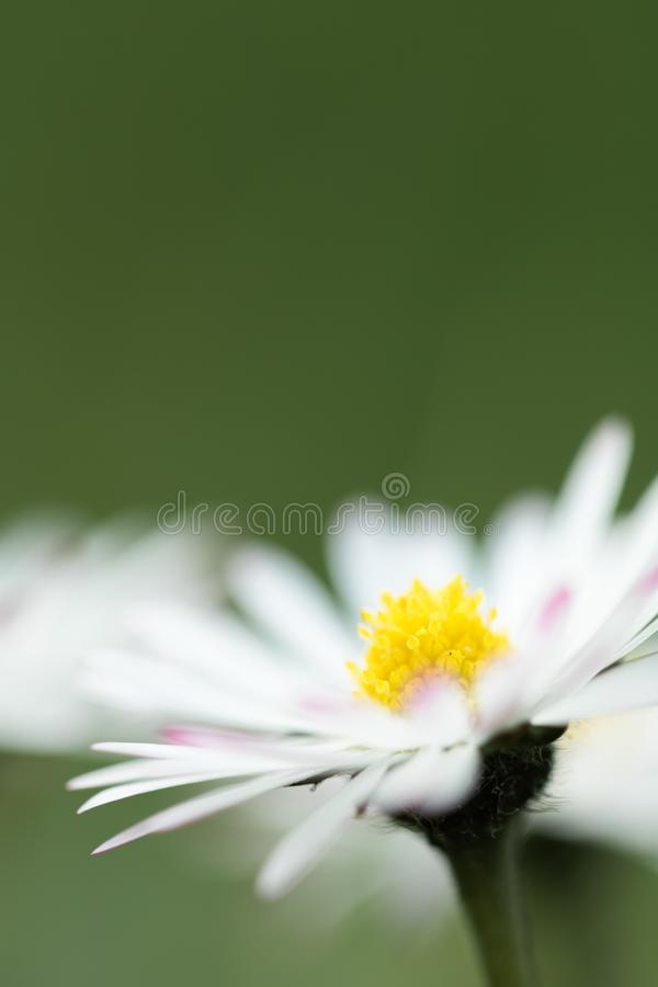 Macro close up of daisy head flower in blurred background isolated, creative floral springtime motif royalty free stock photo