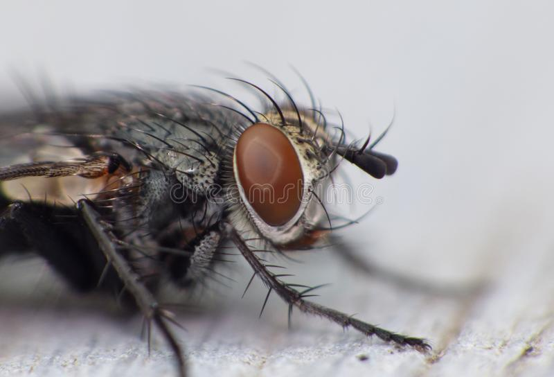 Macro close up detail shot of a common house fly with big red eyes taken in the UK royalty free stock photo