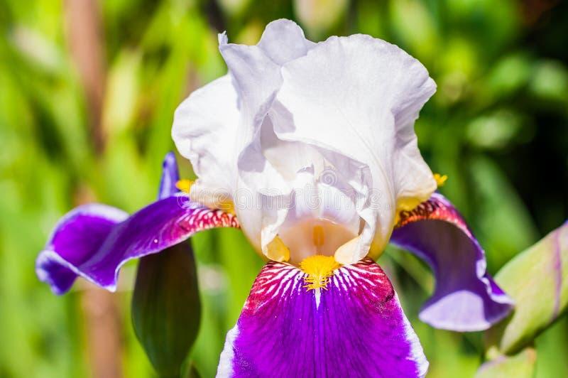 Macro close-up of gorgeous Iris flower white purple violet blooming bud. Iris is a genus of flowering plants with showy flowers stock image