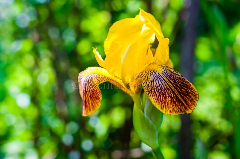 Macro close-up of gorgeous Iris flower yellow orange red blooming bud. Iris is a genus of flowering plants with showy flowers stock photos