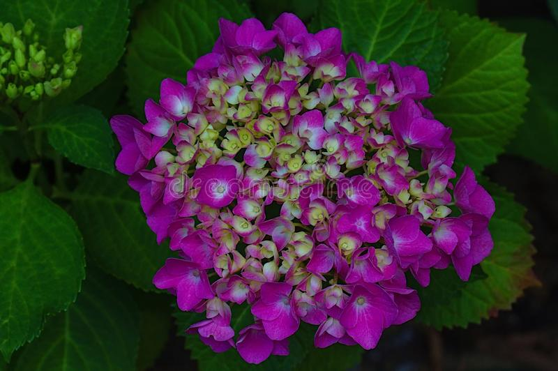 Violet and yellow Hydrangea close-up royalty free stock photo