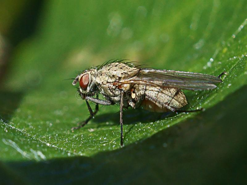 Macro of fly on a green leaf royalty free stock image