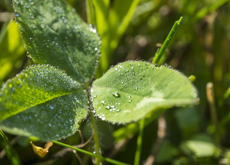 Macro close up leaves of clover with dew drops in morning light stock image