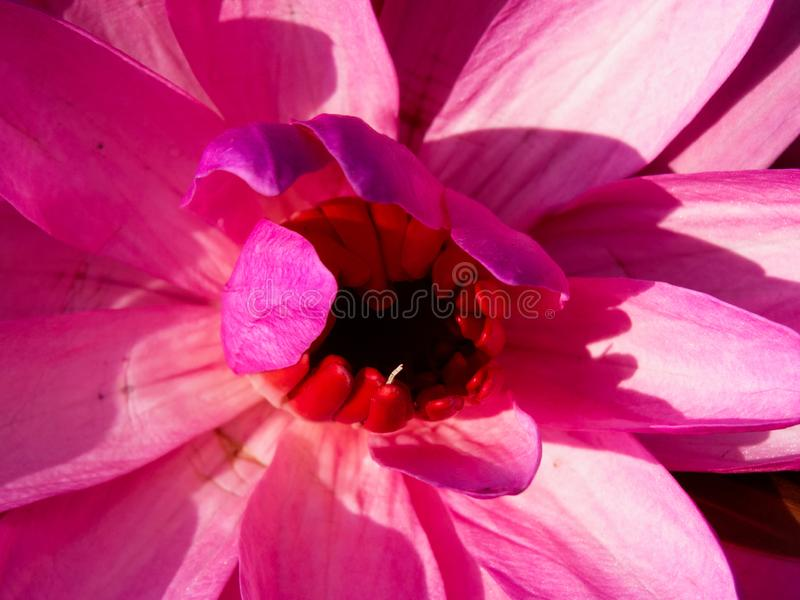 Flower Close-up. Macro or close up of Lotus flower, flower pollen inside stock photo