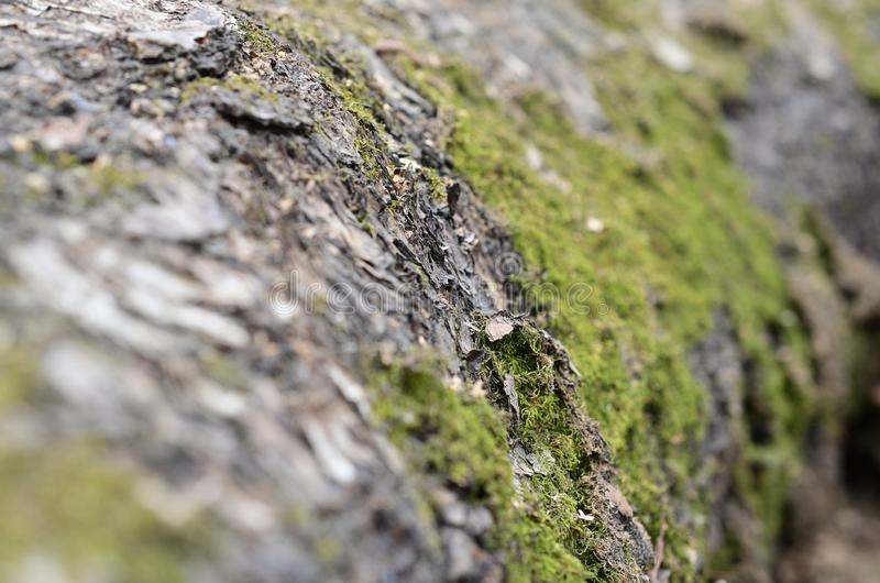 Macro, close-up of moss and lichen on the background of birch bark texture. stock photography