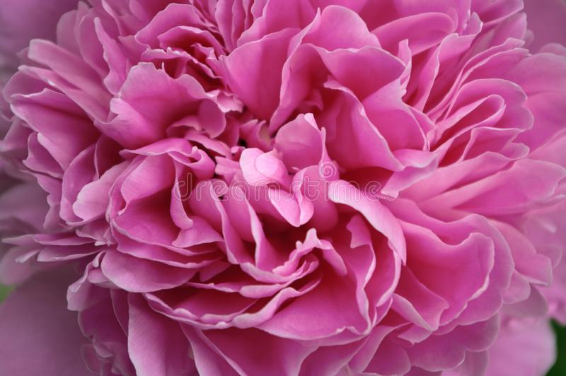 Macro close up peony flower. Petal blossom spring summer wedding decoration bouquet. Flowering paeony bright pink color royalty free stock images