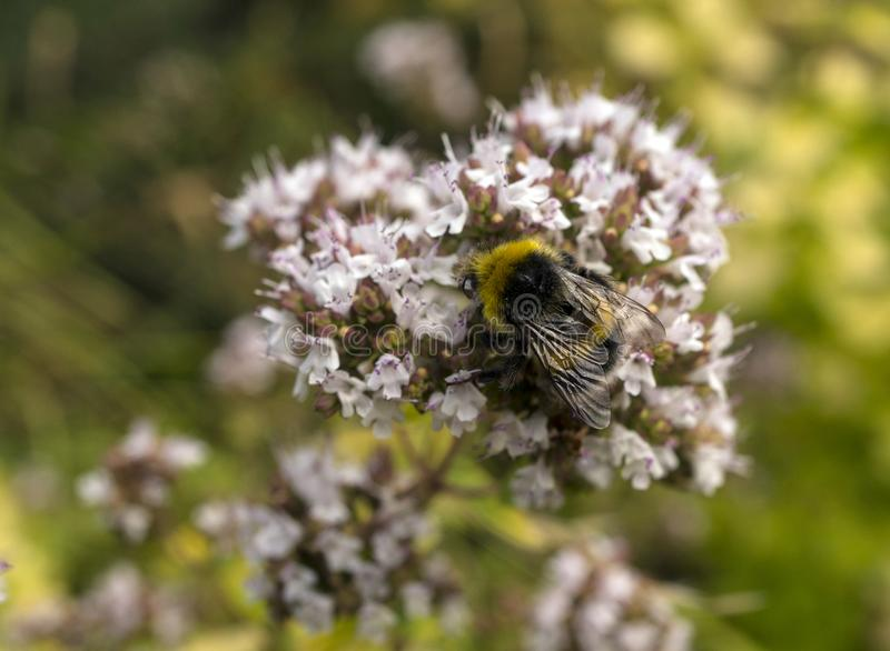 Close-up of Buff Tailed Bumble Bee Bombus terrestris on Oregano Flower Origanum vulgare royalty free stock images