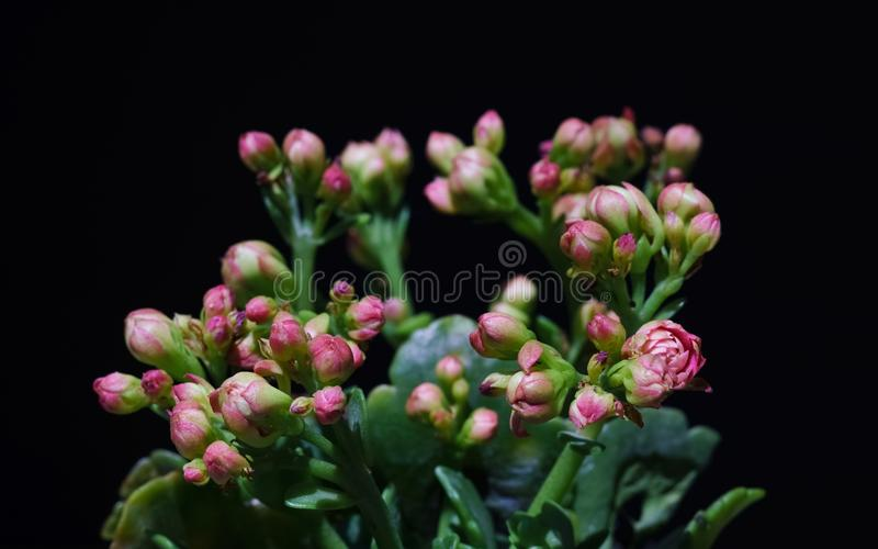 Macro close up of pink flower Kalanchoe tropical succulent plant royalty free stock image