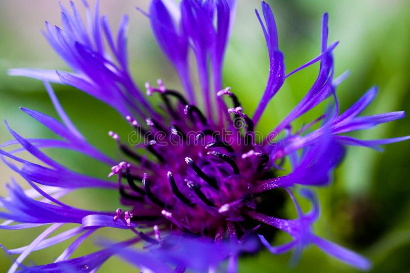 Macro close up of purple squarrose knapweed centaurea triumfettii with blurred green background focus on tops of pedicels stock image