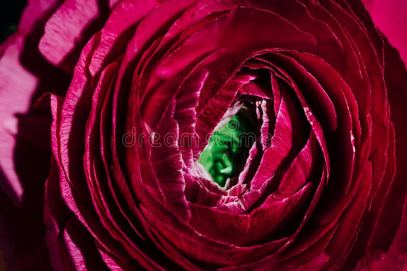 Macro Close up of a Ranunculus. Daylight in a flower shop. stock image