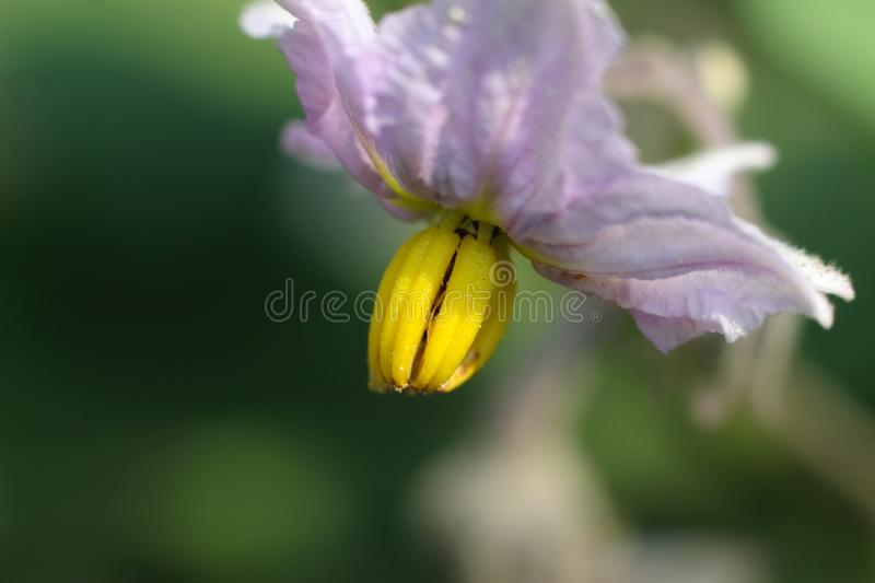 Macro close up shot of eggplant flower royalty free stock photos