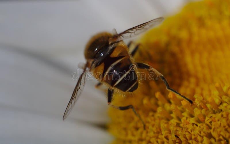 A macro close-up shot of a hoverfly on a shasta daisy flower sucking nectar. stock photography