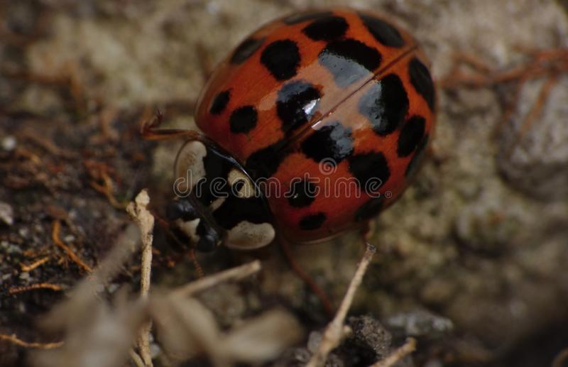 Macro close up shot of a ladybird / ladybug in the garden, photo taken in the UK stock image