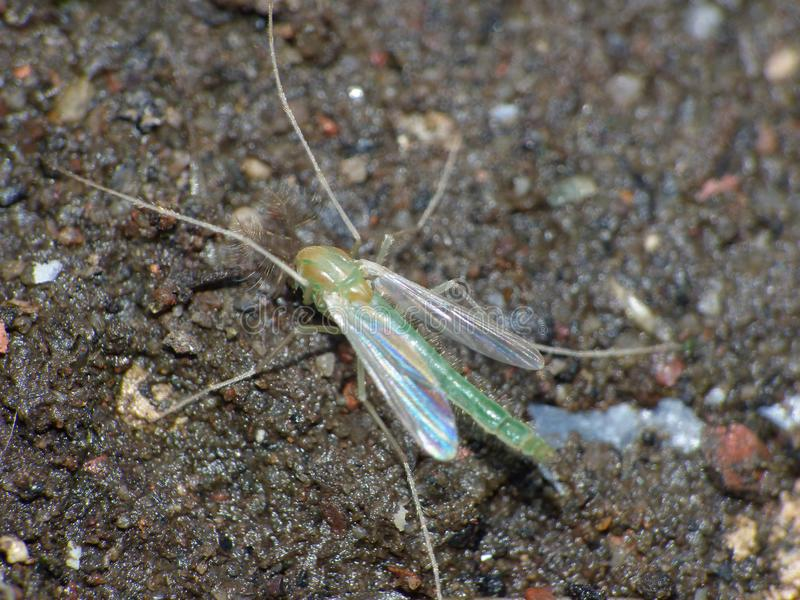 Close up shot of a midge, photo taken mid summer in the United Kingdom. Macro close up shot of a midge, photo taken mid summer in the United Kingdom stock image