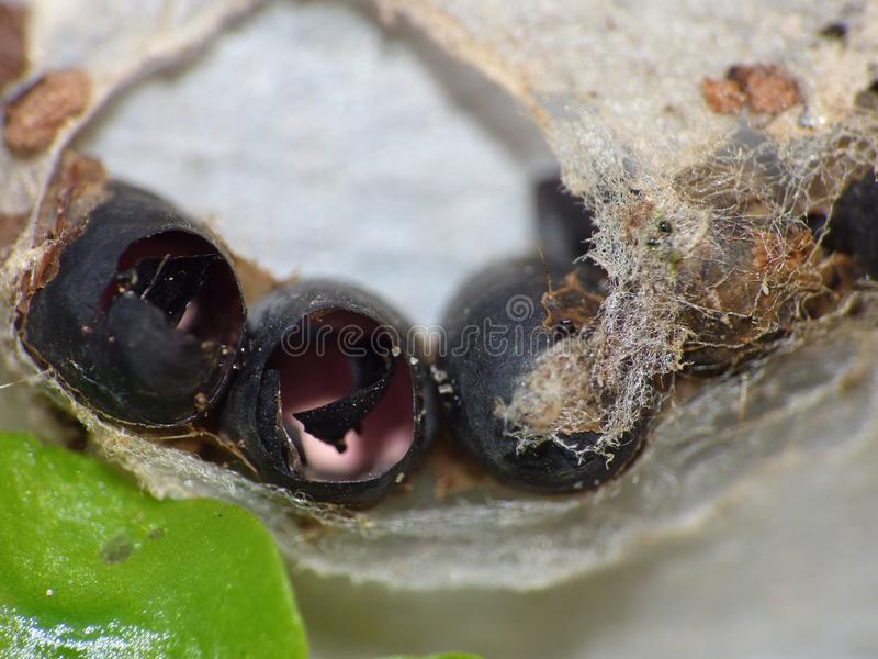 Macro close up shot of some hatched insects eggs in web found in the garden, photo taken in the UK stock photography