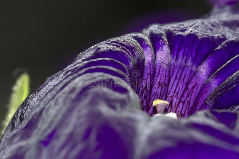 Single purple petunia flower closeup stock images
