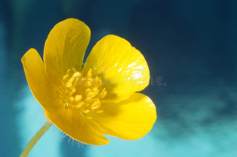 Single buttercup flower closeup blue background royalty free stock images