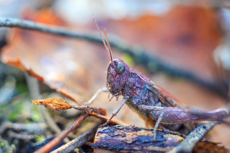 Macro close-up of a unusual grasshopper in purple. At dawn on a spring morning in the grass with dew drops in the forest royalty free stock photo