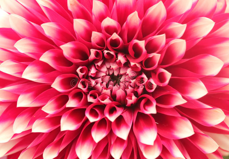 Macro (close-up) van dahliabloem met roze bloemblaadjes in cirkels royalty-vrije stock fotografie