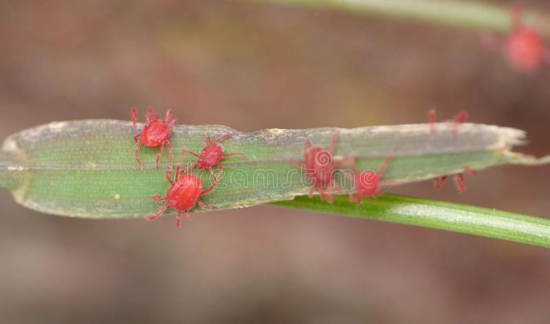 Macro close up of velvet mites blood suckers on leaf, photo taken in the UK. Macro close up of velvet mite blood suckers on leaf, photo taken in the UK stock photos