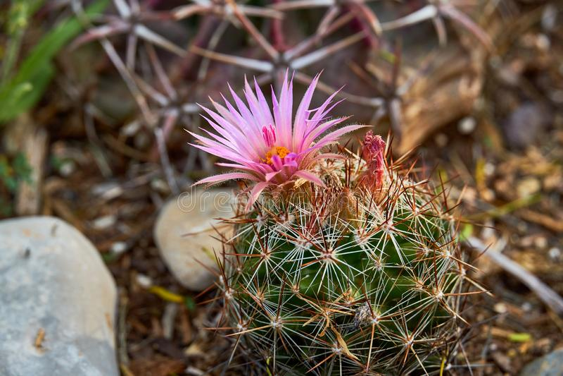 Macro Close up of Vivaparous foxtail cactus Escobaria vivipara . Texas Wildflowers royalty free stock image