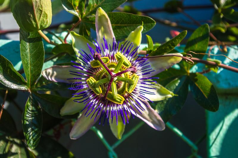 passion flower Passiflora caerulea Passionflower against green garden background royalty free stock images