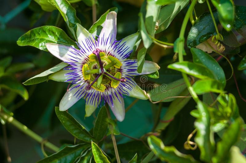 Passion flower Passiflora caerulea Passionflower against green garden background. Macro closeup of a beautiful intricate incredible alien blue and purple passion royalty free stock images