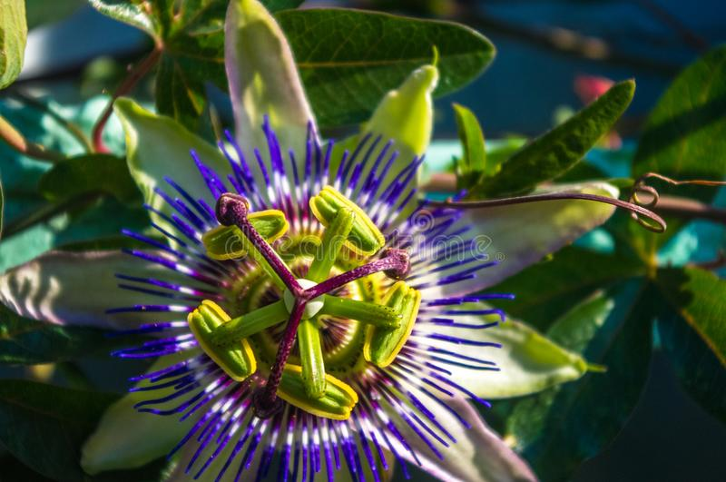 Passion flower Passiflora caerulea Passionflower against green garden background. Macro closeup of a beautiful intricate incredible alien blue and purple passion royalty free stock photo