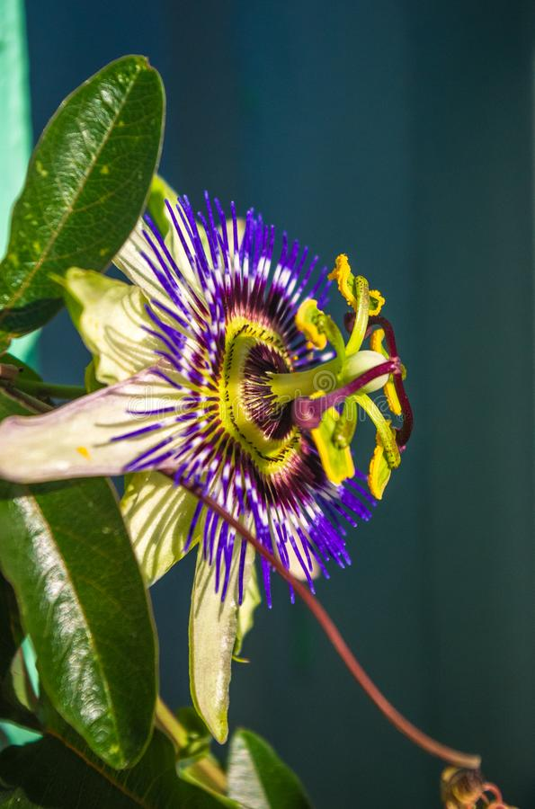 Passion flower Passiflora caerulea Passionflower against green garden background. Macro closeup of a beautiful intricate incredible alien blue and purple passion stock images