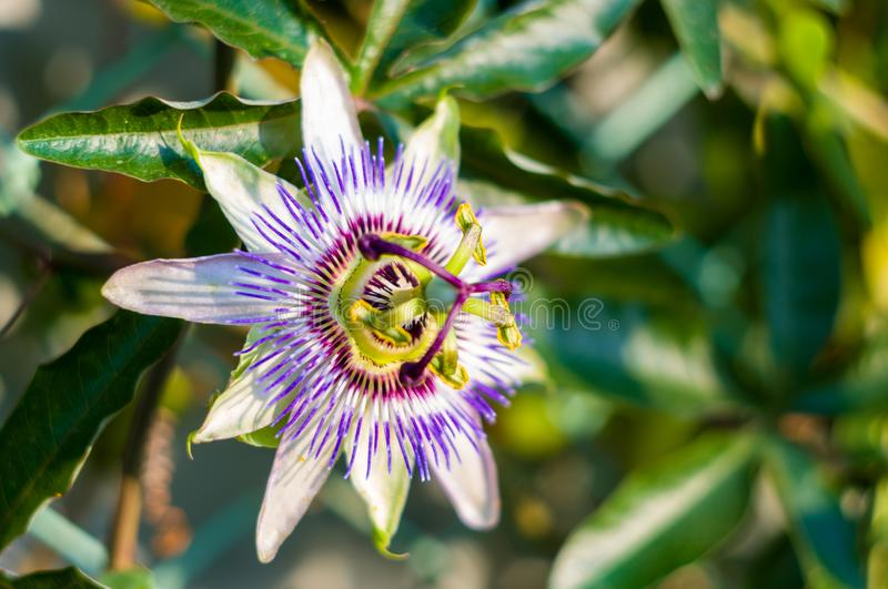 Passion flower Passiflora caerulea Passionflower against green garden background. Macro closeup of a beautiful intricate incredible alien blue and purple passion stock photography