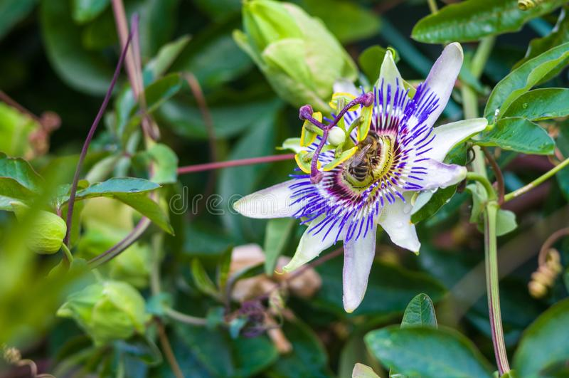 Passion flower Passiflora caerulea Passionflower against green garden background. Macro closeup of a beautiful intricate incredible alien blue and purple passion royalty free stock photography