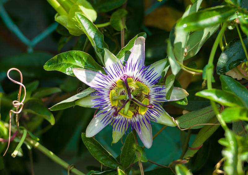 Passion flower Passiflora caerulea Passionflower against green garden background. Macro closeup of a beautiful intricate incredible alien blue and purple passion stock photo