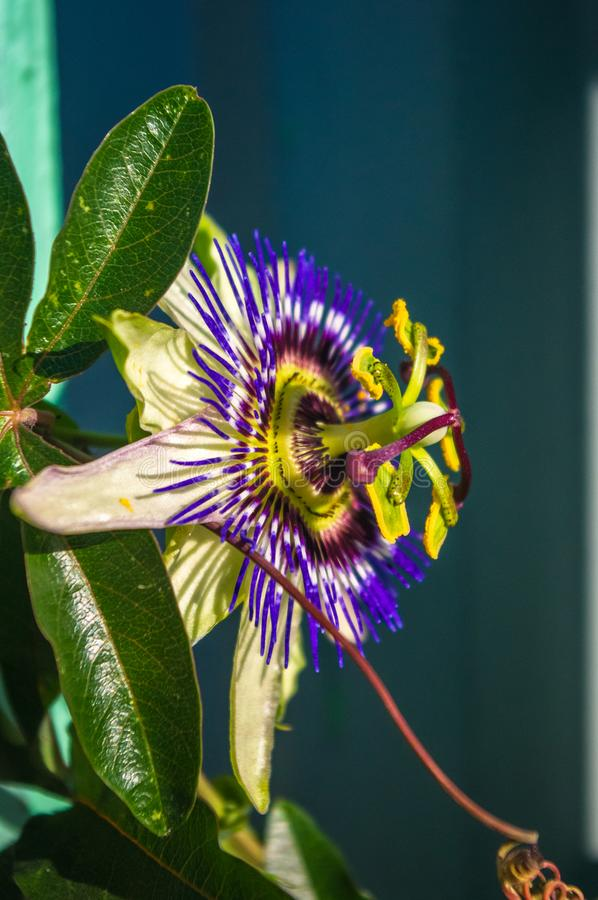 Passion flower Passiflora caerulea Passionflower against green garden background. Macro closeup of a beautiful intricate incredible alien blue and purple passion stock image